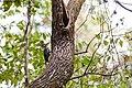 Pileated woodpecker (23586749278).jpg