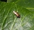 Pinalitus cervinus, probably. Miridae (37792828731).jpg