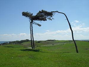 Nekselø - Image: Pine Trees Nekselo In Wind