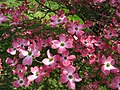 Pink-dogwood-tree - West Virginia - ForestWander.jpg