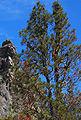 Pinus attenuata Pine Mountain.jpg