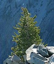 Pinus balfouriana Trinity Alps Wilderness.jpg