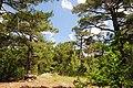 Pinus brutia, Findikli 2.jpg