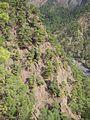 Pinus canariensis forest Caldera de Taburiente 1.jpg