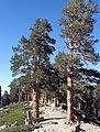 Pinus contorta murrayana San Gorgonio.jpg