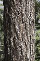 Pinus nigra - Karaçam kozalakları 03.jpg