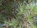 Pinus pinea needles 2009-11-22 DehesaBoyaldePuertollano.jpg