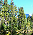 Pinus ponderosa Yosemite 1.jpg
