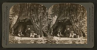 Pioneer Cabin Tree - A stereoscope image of the Pioneer Cabin with people and horse passing through (c. 1867–1899)