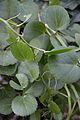 Piperaceae Plant - Kolkata 2013-11-10 4485.JPG