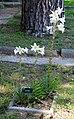 Pisa, orto botanico, zona antica, della scuola botanica 12 lilium.jpg