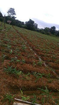 Plant of ginger pic3.jpg