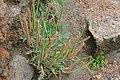 Plantago coronopus-6200.jpg