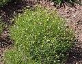 Plantago sempervirens 2015-05-17 01.jpg