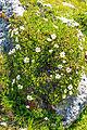 Plants from Sassolongo 39.jpg