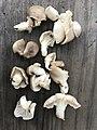 Pleurotus sapidus Sacc 861144.jpg