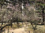 Plum blossoms in Shukkei Garden 4.jpg