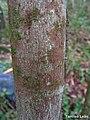 Pogonophora schomburgkiana, cocão - Flickr - Tarciso Leão (4).jpg