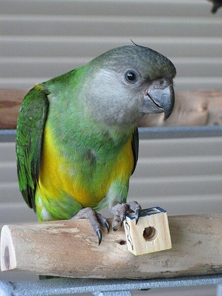 Juvenile Senegal Parrot
