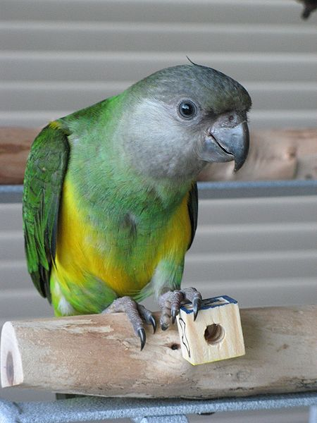 the 5 best � but often overlooked small parrot pets