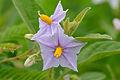 Poison Apple (Solanum panduriforme) flowers (15912834314).jpg