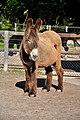 Poitou Donkey 2855.jpg