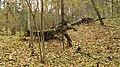 Pokaiņu mežs Лес Покайню 2015 - panoramio (11).jpg
