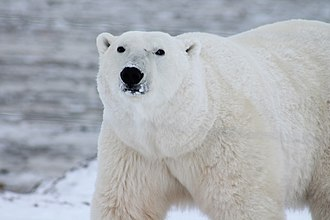 Polar bear, the largest terrestrial caniform Polar-bear-arctic-wildlife-snow-53425.jpg
