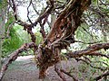Polylepis australis trunk at Dundee Botanic Garden.jpg