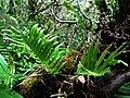 Polypodium pellucidium var. pellucidium (4756149674).jpg