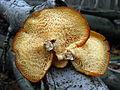 Polyporus alveolaris pores2.jpg