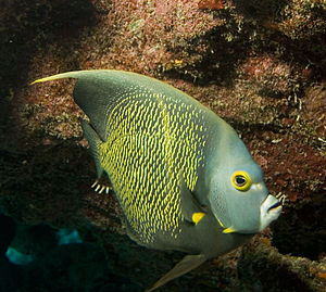 Pomacanthidae - French angelfish, Pomacanthus paru