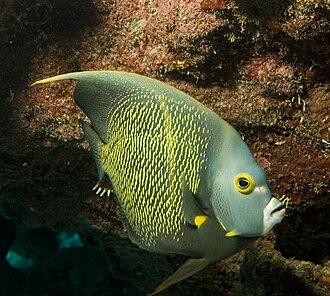 Pomacanthidae - French angelfish, Pomacanthus paru