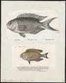 Pomacentrus pavo - 1700-1880 - Print - Iconographia Zoologica - Special Collections University of Amsterdam - UBA01 IZ13900276.tif