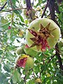 Pomegranate in Palestine85.jpg
