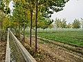Poplar trees - panoramio (3).jpg