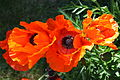Poppies, Downpatrick, June 2010 (06).JPG