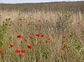 Poppies near Chillerton - geograph.org.uk - 499977.jpg