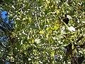 Populus deltoides (5027342086).jpg
