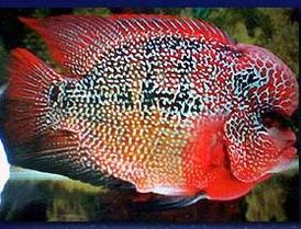 What Can Cichlids Eat Besides Fish Food