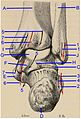 Posterior grooves of the distal end of the lower limb.ro.jpg