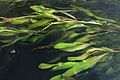 Potamogeton alpinus, robust form (the River. Uftyuga, Vologda reg., Russia).jpg