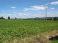 Potato crop nr Tillers' Green - geograph.org.uk - 511234.jpg