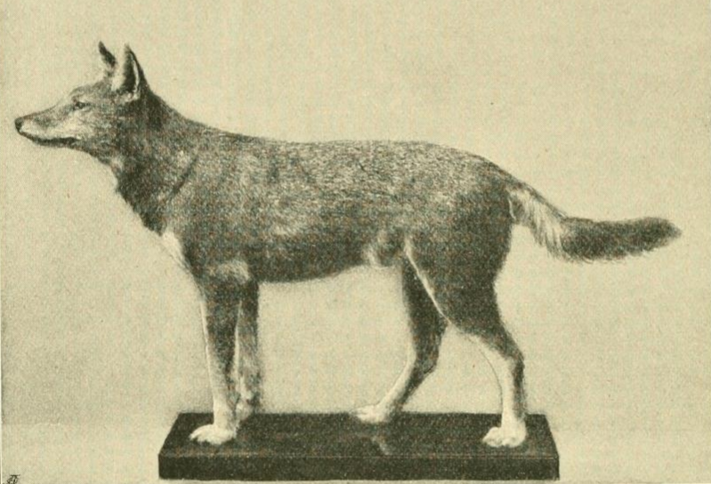 Powell-Cotton (1902) Canis simensis