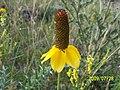 Prairie Coneflower (Ratibida columnifera).jpg
