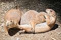Prairie Dog Pig Pile (18876353811).jpg