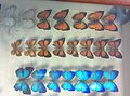 Pratt Butterflies on display at Museums Collections Centre, Birmingham May 2015.jpg