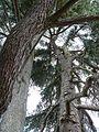 Preuilly-jardin-public-cèdres-tronc.JPG