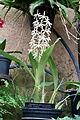Prosthechea prismatocarpa (Epidendrum prismatocarpum) - Longwood Gardens - DSC01189.JPG