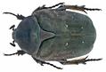 Protaetia (Potosia) afflicta (Gory & Percheron, 1833) Syn.- Netocia (Netocia) afflicta (Gory & Percheron, 1833) (14043680329).png